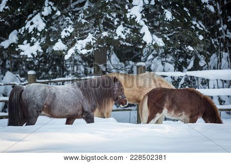 Young Horse And Two Ponies On The Farm