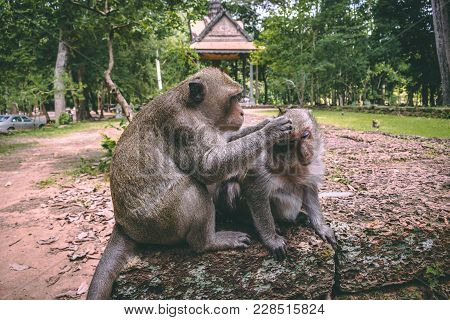 Monkeys Defleaing Each Other In Cambodia In The Temples Of Angkor Watt