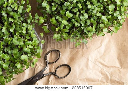 Broccoli And Kale Microgreens With Scissors And Copy Space, Top View
