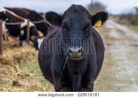 Black Angus Cow Looking At Camera Cattle On A Farm