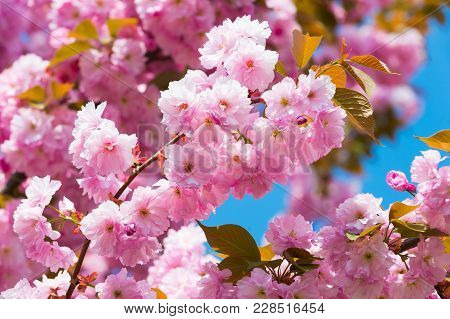 Cherry Tree In Pink Flowers On Blue Sky Background, Bloom. Blossoming Sakura On Sunny Day, Spring. B