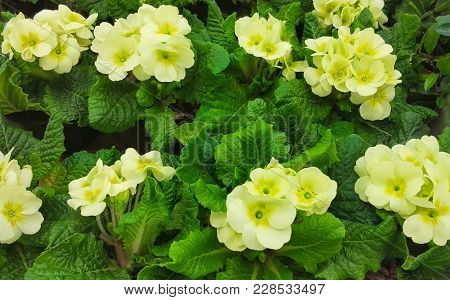 Blossoming Primula Vulgaris Flowers Close Up. Beautiful Nature Spring Floral Wallpaper. Background O