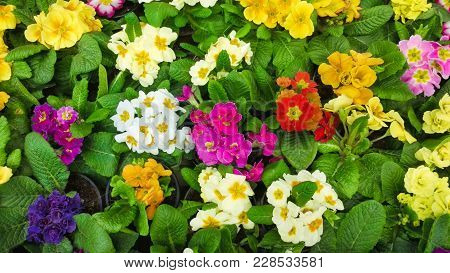 Beautiful Nature Floral Wallpaper. Background Of Multicolored Primula Vulgaris Flowers. Many Perenni