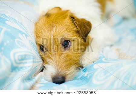 Funny Dog Lying In Bed. Jack Russell Terrier Cute Faces.
