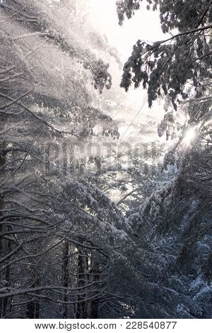 Mysterious Winter Forest And Bright Sunbeams Shining Through Snow Covered Tree Trunks In Cold Snowy
