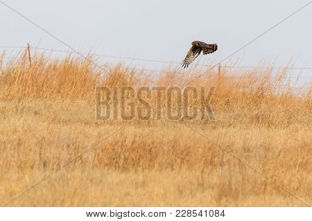 A Northern Harrier Hunts For Its Meal Within The Grasses Of The Plains Near Clinton, Oklahoma, Janua