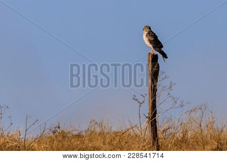A Northern Harrier Perched On A Fence Post In The Plains Near Clinton, Oklahoma, January 2018