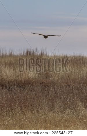 A Northern Harrier Hunts For Its Meal Within The Grasses Of The Plains Near Salt Plains National Wil
