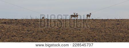 White-tailed Deer Stand On The Ridgeline At The Tallgrass Prairie Preserve In Pawhuska, Oklahoma, Fe