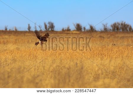 A Northern Harrier Hunts For Its Meal Within The Grasses Of The Plains At Tallgrass Paririe Preserve