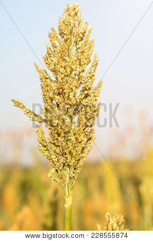 Close Up Millet Or Sorghum In Field