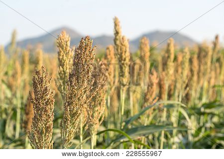 Millet Or Sorghum In Field Of Feed For Livestock