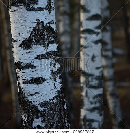 Birch Tree Grove Trunks Bark Closeup Background, Large Detailed Vertical Birches March Landscape Sce