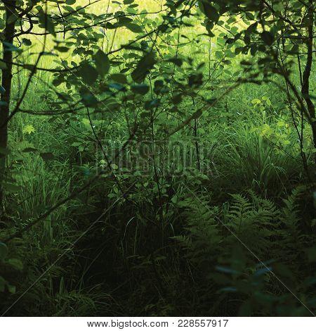 June Meadow Grass, Green Fresh New Ferns, Bushes, Alnus Alder Trees, Wildlife Plants, Horizontal Rur