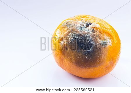 Citrus Covered With Mold. Rotten Mandarin On A White Background. A Spoiled Fruit. Copy Space. Close-