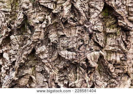 Old Tree Bark Textured. Crooked And Wry Surface. Weathered And Aged Wooden Texture With Deep Furrow