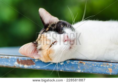 Tricolor Cat Lie Down And Sleeping, Cute Animal