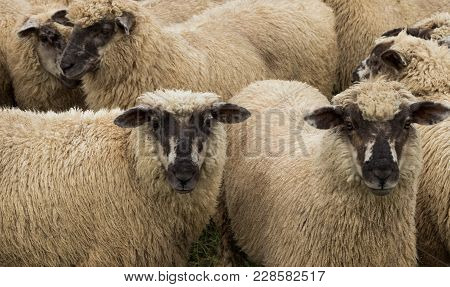 New Zealand Young Sheep Tht Have Dark Faces.