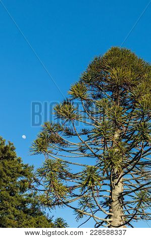 Tall Norfolk Pine Tree And The Moon With A Blue Sky.