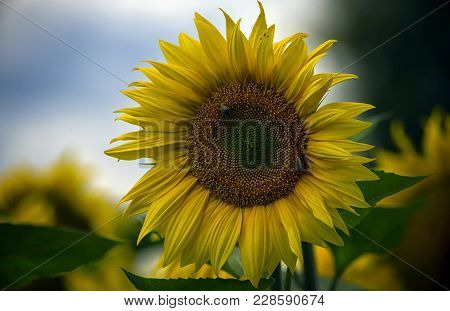Two Small Bees Collect Nectar On A Large Flower Of A Sunflower With Yellow Petals.