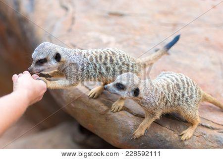 Close-up Of Hand Feeding Clan Of Meerkats Suricata Suricatta, African Native Animals, Small Carnivor