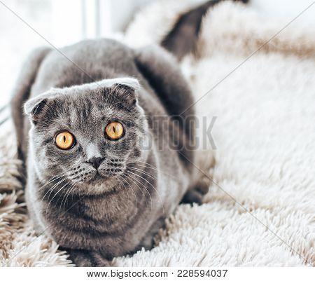 Scottish Fold. Scottish Fold Cat Sits On A Windowsill.