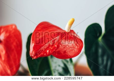 Anthurium Flower And Leaf On A White Textured Background. Also Known As Mens Happiness, Flowers And