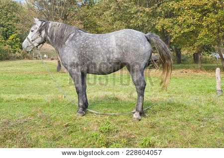 Lonely Dappled Mare On A Fall Pasture.