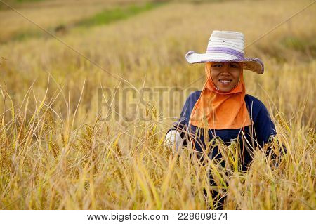 A Woman Farmer Harvesting Rice By Hand, In A Rice Field In Northeastern Thailand, During The Harvest
