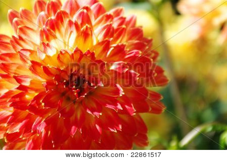 Orange and red dahlia
