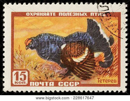 Luga, Russia - February 08, 2018: A Stamp Printed By Russia (ussr) Shows Black Grouse Or Blackgame O