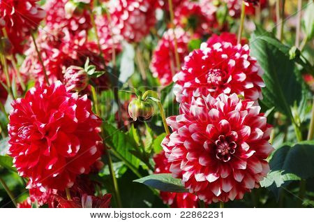 Some red and white dahlias