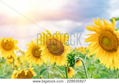 Flower Sunflower Closeup Against Blue Sky And Clouds. Flowering Sunflower Flowers. Sunflower From Wh