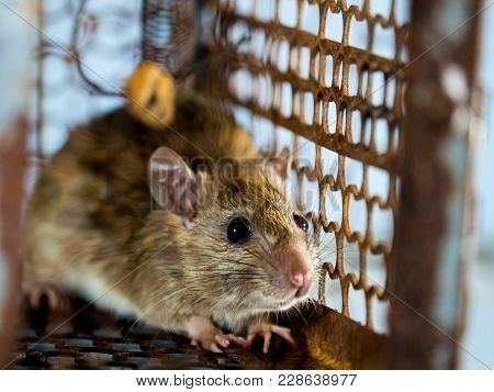 Soft Focus Of The Rat In A Cage Catching A Rat. The Rat Has Contagion The Disease To Humans Such As