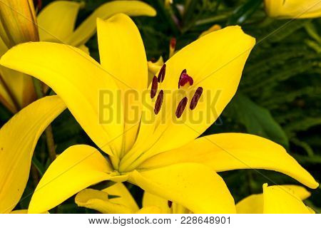 Yellow Bud. Yellow Lilies In The Garden. Close-up Shot Of Blooming Lily Flower. Pistils, Stamens, St