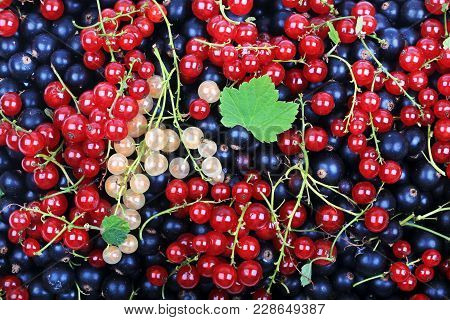 Fresh Berries Currant Useful For Heart Healthy Mix Of Redcurrant Blackcurrant White Currant