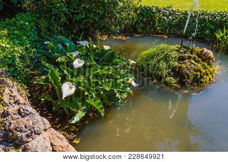 An Acquatic White Calla Flourished In A Pond  With Side By Side  A Fountain That  Zippers /the Acqua