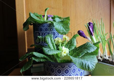 Potted Flowers At Home Table. Home Decor With Primulas And Crocus Flowers With Stack Of Books.
