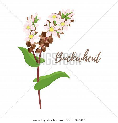 Vector Cartoon Style Illustration Of Cereals - Buckwheat. Grain Plant Isolated On White Background.
