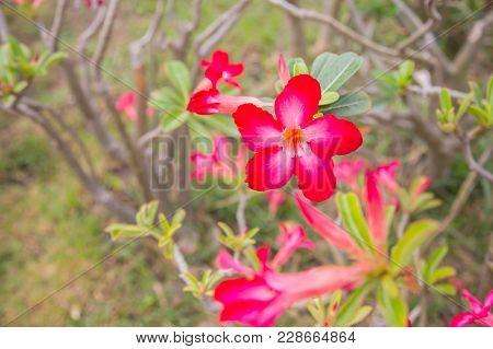 Pink Azalea Flower Sunshine.pink Bignonia With Beautiful Pink Flower.