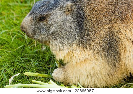 A Marmot Is Eating Quiet In A Meadow /close-up Of A Sociable Marmot