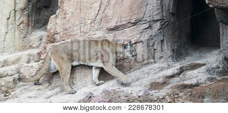 A Mountain Lion, Felis Concolor, Returns To Its Lair After Hunting