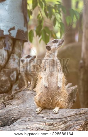 Close Up Of Couple Meerkats Standing Over Stump And Looking A Survey For Drove; Suricata Suricatta O