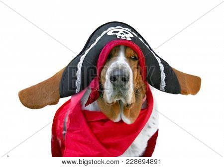 basset hound dressed up in a pirate outfit with a hat and scarf costume studio shot on an isolated white background