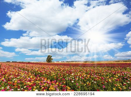 Spring flowering. Kibbutz fields of flowering garden buttercups. Lush cumulus clouds fly over the fields. Concept of ecological and rural tourism