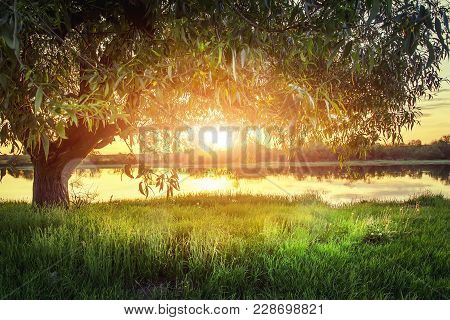 Large Tree On River Shore At Sunset On Summer Evening. The Sun Shines Through Branches Of The Tree.