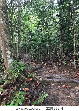 A well trodden path with big tree roots showing healthy forest environment in asia.