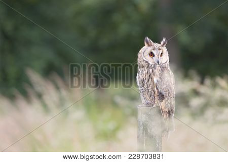 Long eared owl perched on a fence post in blurred long grasses