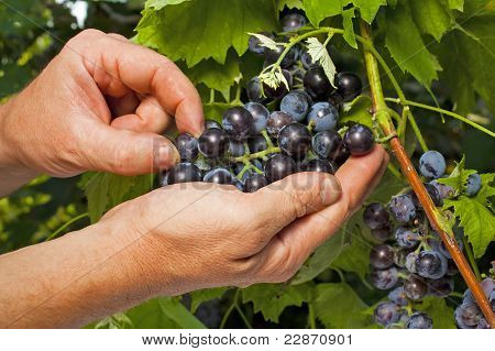 Vintner Inspecting Grapes In Close Up
