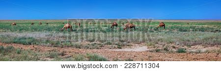 Panorama Of The Kazakhstan Steppe With Camels. Near Almaty.